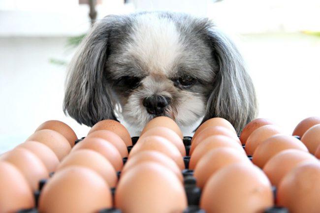 Darf mein Hund Ei fressen? Alle wichtigen Fakten rund ums Ei