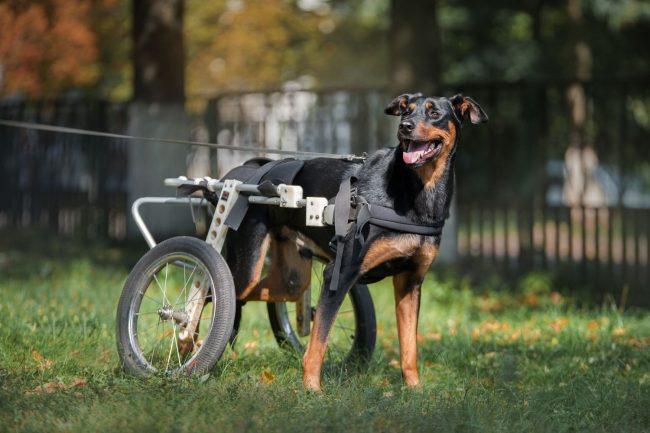 Arthrose bei Hunden – Wie können wir unseren Vierbeinern helfen?