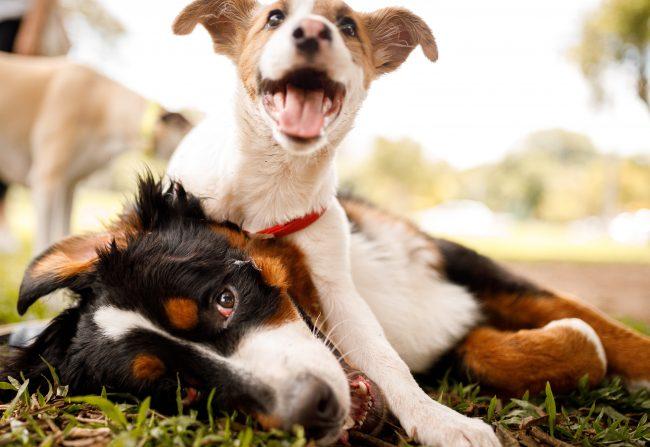 Zwei Hunde spielen im Park