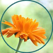 Calendula Blume