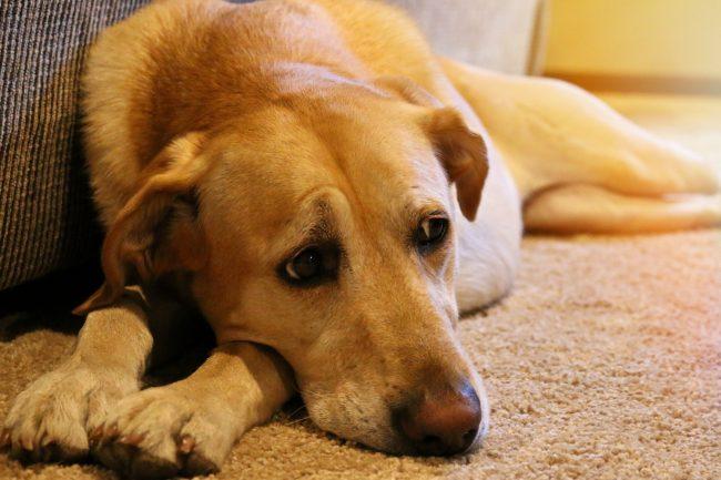 Trauriger Hund auf Boden
