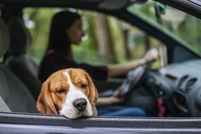 Hund ist Autokrank