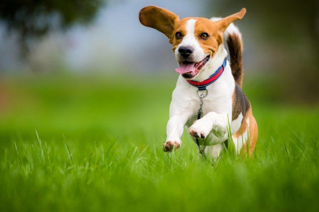 Hund läuft auf der Wiese