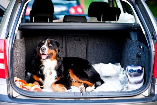 Hund im Kofferraum eines Autos
