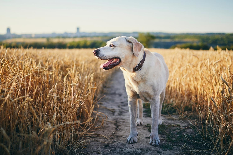 Hund auf Weizenfeld