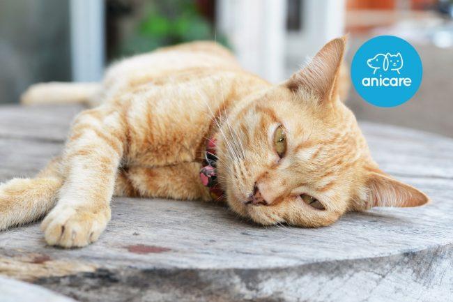 Katzendiabetes erkennen und behandeln