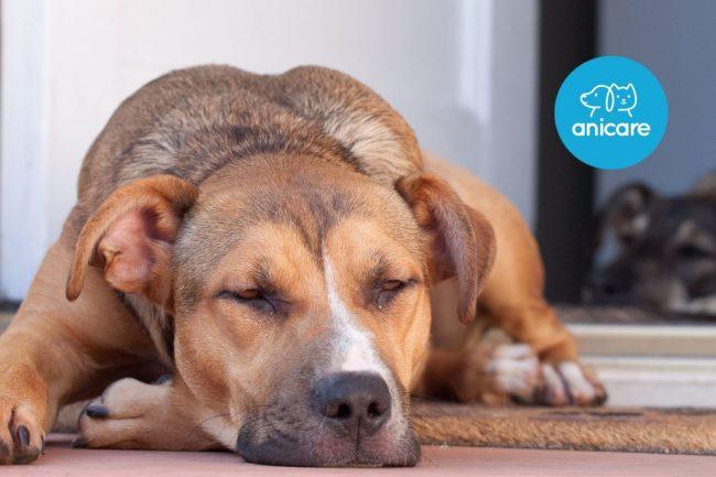 Was tun, wenn mein Hund immer müde ist?