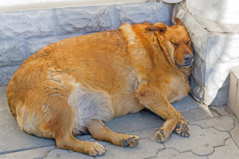 Fetter Hund